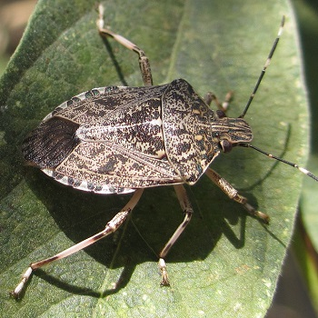 A stink bug on a green leaf.  Image used for stinkbug treatment by Bugg Control company.