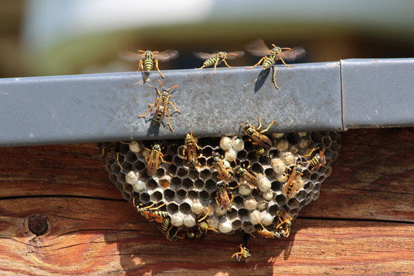 Yellow jacket bees crawling on a bee hive