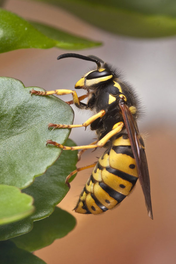 close up of a yellow jacket on a leaf