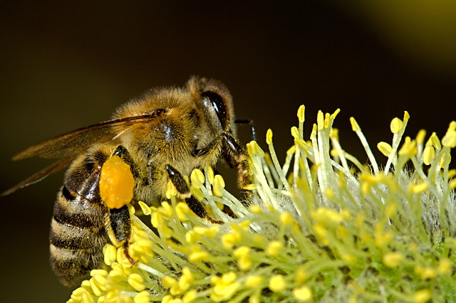 Honeybee collecting pollen from flowers
